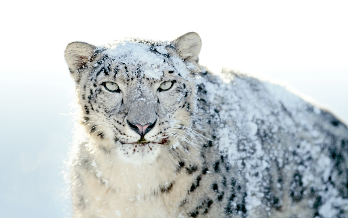 How does that snow leopard taste in your 'traditional Chinese medicine'?